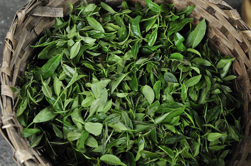 Fresh harvest of Darjeeling tea at tea garden